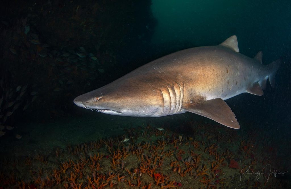 Sand Tiger Shark, South Africa