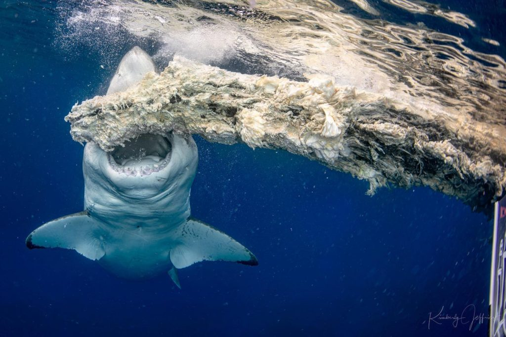 World's Biggest Great White?